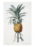 Bromelia ananas