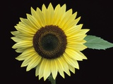 'Vanilla Ice' Sunflower