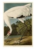 Grue sur un pied Giclée par John James Audubon