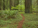 Trail among redwood trees in Jedediah Smith Redwoods State Park