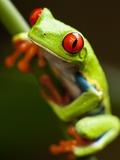 Red-eyed tree frog on stem