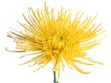 Yellow Chrysanthemum Fuji Flower with Water Droplets