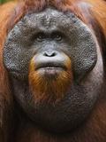 Dominant male orangutan