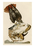 Red-Tailed Hawk Giclée par John James Audubon