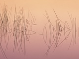 Hardsten Bulrush (scirpus Acutus) Manitoulin Island  Lake Mindemoya  Ontario  Canada