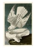 Iceland or Jer Falcon Giclée par John James Audubon