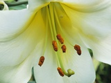 Close Up of Lilium Longiflorum