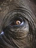 Indian Elephant's Eye