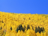 Aspen Trees on Mountainside
