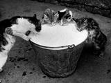 Kittens Slurping from a Pail of Milk Papier Photo