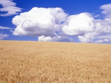 Cumulus Clouds Floating over Wheat Fields