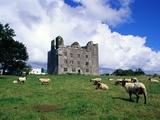 Sheep Grazing near Leamaneagh Castle