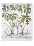 Geranium Muscatum