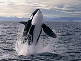 Breaching Killer Whale