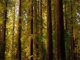 Séquoias Papier Photo par Charles O'Rear