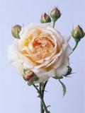 Cressida Rose