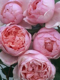 Brother Cadfael Roses