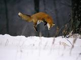 Red Fox Jumping in the Snow Papier Photo par John Conrad
