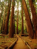 Redwoods Forest Papier Photo par Charles O'Rear