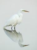 Great Egret Reflected