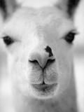 Close-Up of Alpaca's Nose Papier Photo par Henry Horenstein
