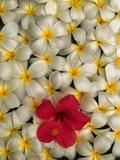 Hibiscus and Plumeria Blooms