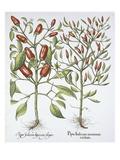 Piper Indicum