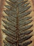 Carboniferous Fossil Fern