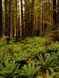 Ferns in Redwood Forest Papier Photo par Charles O'Rear