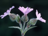 Red Campion in Flower