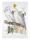 Print of Two Cockatoos by A Dumenil