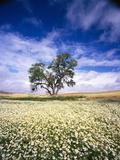 Oak Tree in Field of Daisies