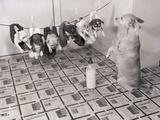 Chihuahua Feeding Her Pups