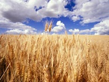 Wheat Field Growing Beneath Puffy Clouds