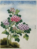 Early 19th-Century Chinese Watercolor of a Hydrangea