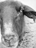 Sheep's Face