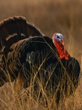 Turkey Showing Mating Display