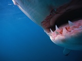 Mouth of Great White Shark