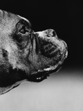 Profile of a Boxer