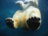 Paws of a Floating Polar Bear