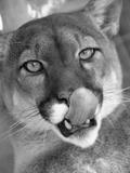Mountain Lion Licking Nose