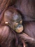 Orangutan Baby Sleeping
