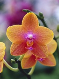 Orange and Yellow Orchid