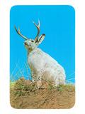 Jackalope  Horned Rabbit