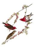 Audubon: Finch  1827-38