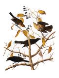 Audubon: Blackbird  1827