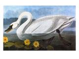 Audubon: Swan  1827