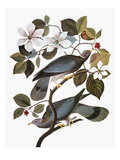 Audubon: Pigeon
