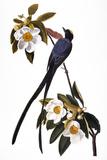 Audubon: Flycatcher  1827