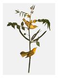 Audubon: Warbler  1827-38